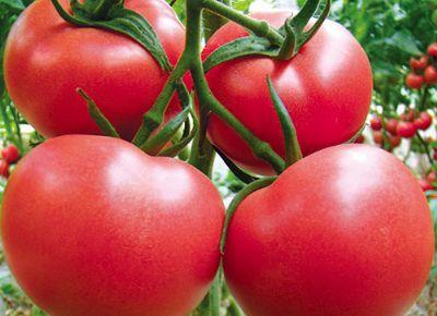 点击查看乐虎国际官方app下载<br>标题:西红柿种苗 阅读次数:574