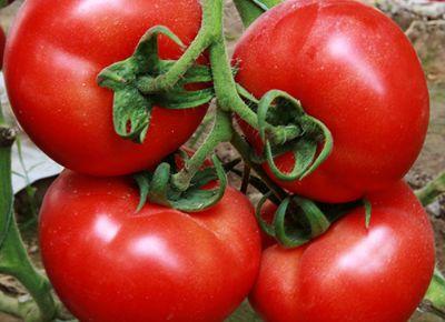 点击查看乐虎国际官方app下载<br>标题:西红柿种苗 阅读次数:954