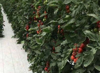 点击查看乐虎国际官方app下载<br>标题:番茄河沙栽培 阅读次数:854