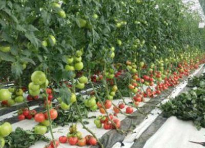 点击查看乐虎国际官方app下载<br>标题:西红柿河沙栽培 阅读次数:1007
